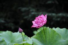 双重红色莲花 库存照片