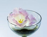 双重郁金香的花在一个玻璃花瓶的 免版税库存照片