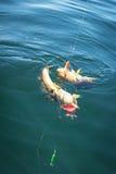 双重鳕鱼叮咬 库存照片