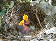 双重鸟婴孩和鸡蛋在巢 免版税库存照片