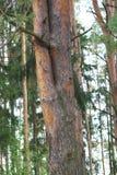 双重,美丽的杉树在一个密集的杉木森林里 库存图片