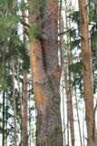 双重,美丽的杉树在一个密集的杉木森林里 库存照片