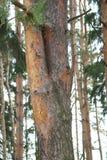 双重,美丽的杉树在一个密集的杉木森林里 免版税库存照片