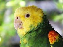 双重黄色带头的亚马逊鹦鹉或亚马逊oratrix 库存照片