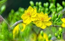 双重黄色杏子在春天上午一起开花绽放 图库摄影