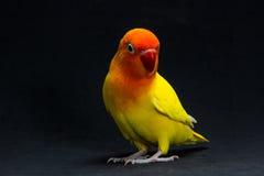 双重黄色爱情鸟,鸟 库存图片