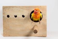 双重黄色爱情鸟 免版税图库摄影