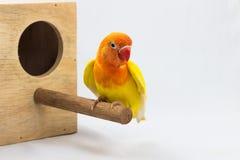 双重黄色爱情鸟 图库摄影