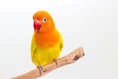 双重黄色爱情鸟 免版税库存照片