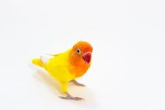 双重黄色爱情鸟 库存图片