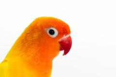 双重黄色爱情鸟 免版税库存图片