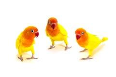 双重黄色爱情鸟 库存照片