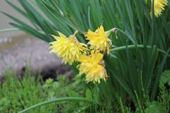 双重黄色黄水仙在雨中 库存照片