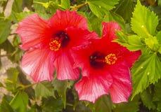 双重beautyful桃红色头状花序关闭 库存图片