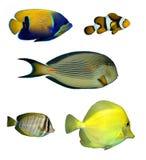 双锯鱼热带鱼的礁石 免版税图库摄影