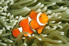 双锯鱼anemonefish小丑percula 免版税库存照片