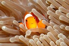 双锯鱼anemonefish小丑percula 免版税库存图片