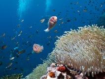 双锯鱼anemonefish perideraion粉红色 免版税库存照片