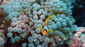 双锯鱼bicinctus (红海clownfish) 库存照片