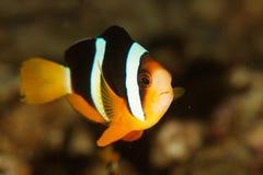 双锯鱼clarkii海岛similan泰国 免版税库存照片