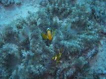 双锯鱼percula clownfish 免版税图库摄影