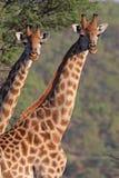 双长颈鹿 免版税库存照片
