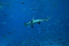 双髻鲨 库存图片