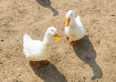双鸭子 库存图片