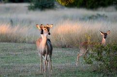 双鹿小鹿,得克萨斯白色盯梢了鹿 库存图片