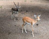 双鹿 免版税图库摄影