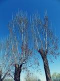 双结构树 图库摄影