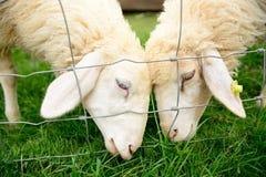 双绵羊 免版税库存图片