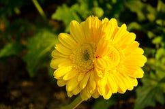 双黄色雏菊在庭院里开花在阳光下 免版税库存照片