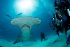 双髻鲨在巴哈马 免版税库存图片