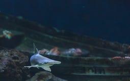 双髻鲨,锤骨鱼类lewini 免版税库存照片