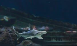 双髻鲨,锤骨鱼类lewini 图库摄影