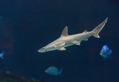 双髻鲨,锤骨鱼类lewini 库存图片