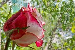 反对一块玻璃的桃红色玫瑰与下落 免版税库存照片