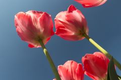 反对一天空蔚蓝的桃红色郁金香在阿姆斯特丹 库存图片
