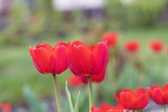 反对一张绿色花床的背景的美丽的红色郁金香 图库摄影
