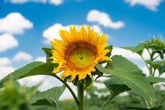 反对一朵蓝天和白色云彩的向日葵 图库摄影