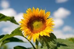 反对一朵蓝天和白色云彩的向日葵 库存图片