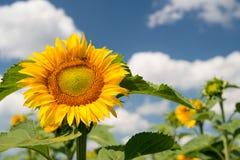 反对一朵蓝天和白色云彩的向日葵 免版税库存图片