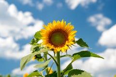反对一朵蓝天和白色云彩的向日葵 免版税库存照片