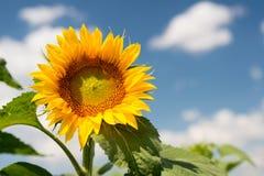 反对一朵蓝天和白色云彩的向日葵 免版税图库摄影