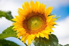 反对一朵蓝天和白色云彩的向日葵 库存照片