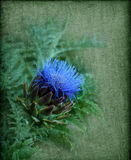 反对一织地不很细绿色backg的美丽的蓝色开花的朝鲜蓟 免版税库存照片