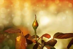 玫瑰花蕾 库存图片