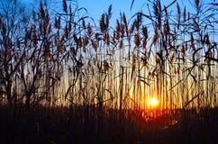反对五颜六色的日落的背景的高芦苇在秋天的 免版税库存照片