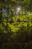 反对光亮的太阳的槭树 轻的影子 在森林里 免版税库存图片